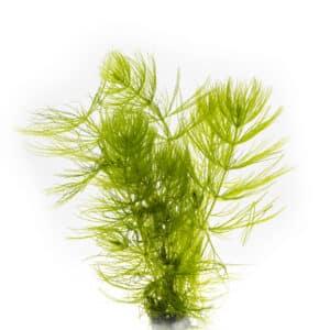 Hornkraut Hornblatt Ceratophyllum demersum Kai A. Quante 4D7A8999 Bearbeitet