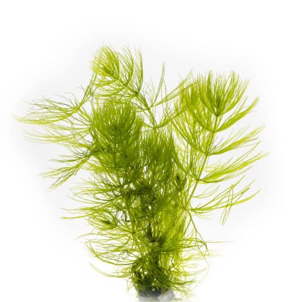 Hornkraut Hornblatt Ceratophyllum demersum Kai A. Quante 4D7A8999 Bearbeitet scaled