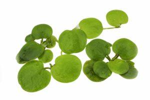 Melanoides tuberculatus