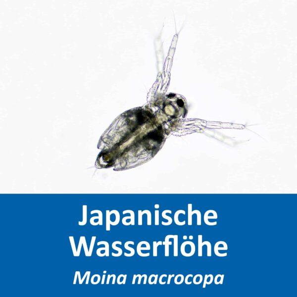 Moina macrocopa2