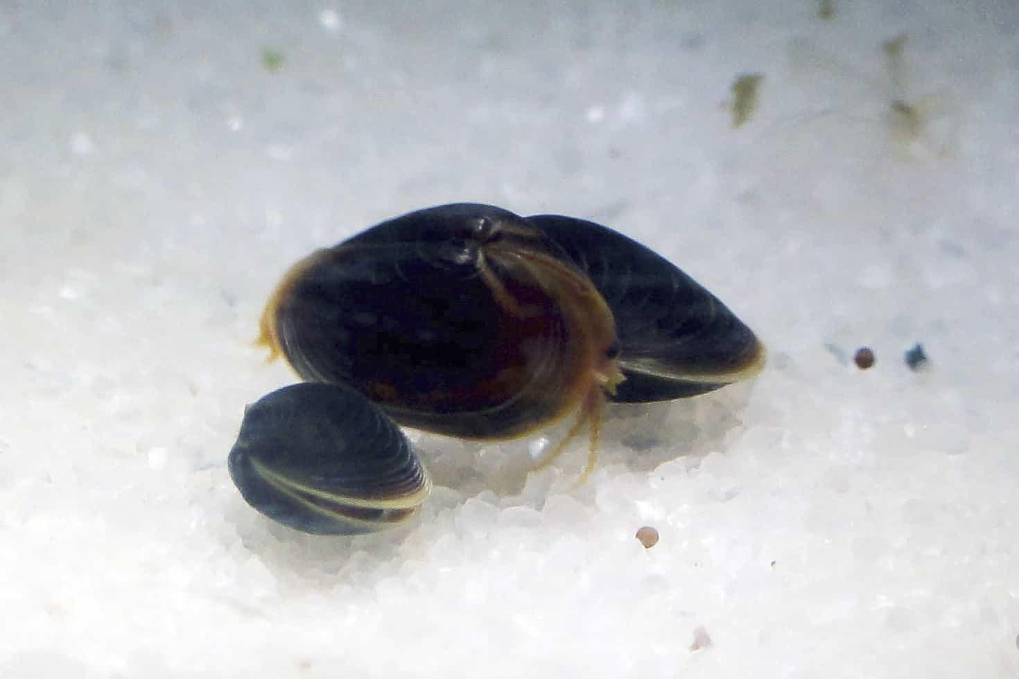 Cyzicus sp.