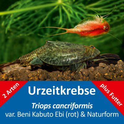Triops cancriformis – naturfarben und Beni Kabuto Ebi rot – 2 x Triops Eier – mit Futter und Anleitung