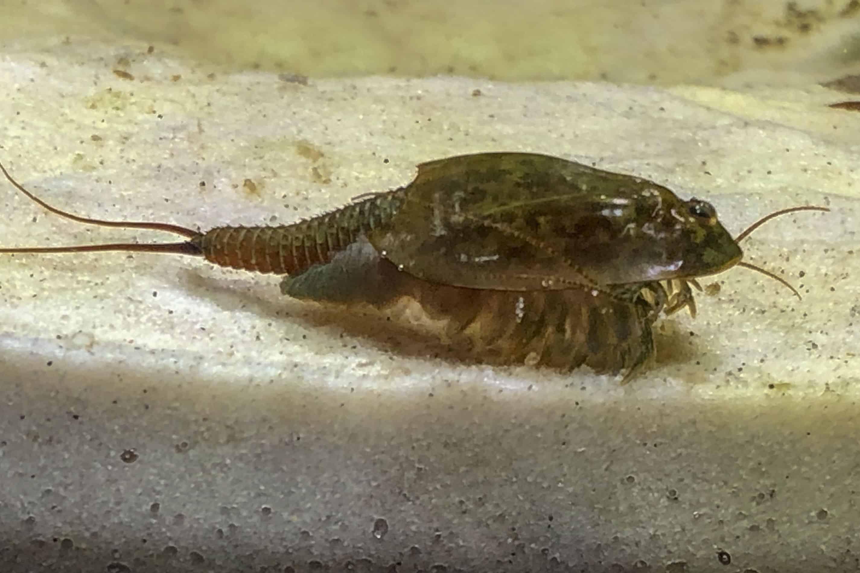 Triops cancriformis simplex