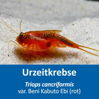 Triops cancriformis var. Beni Kabuto Ebi (rot) – Eier – mit Anleitung