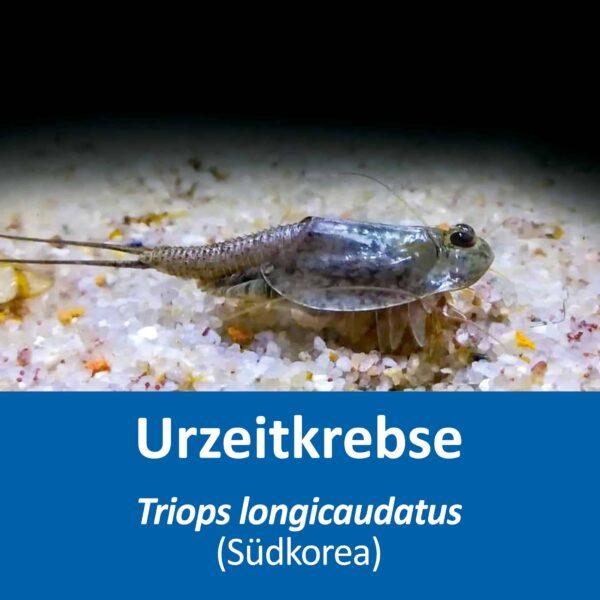 Triops longicaudatus (Suedkorea)