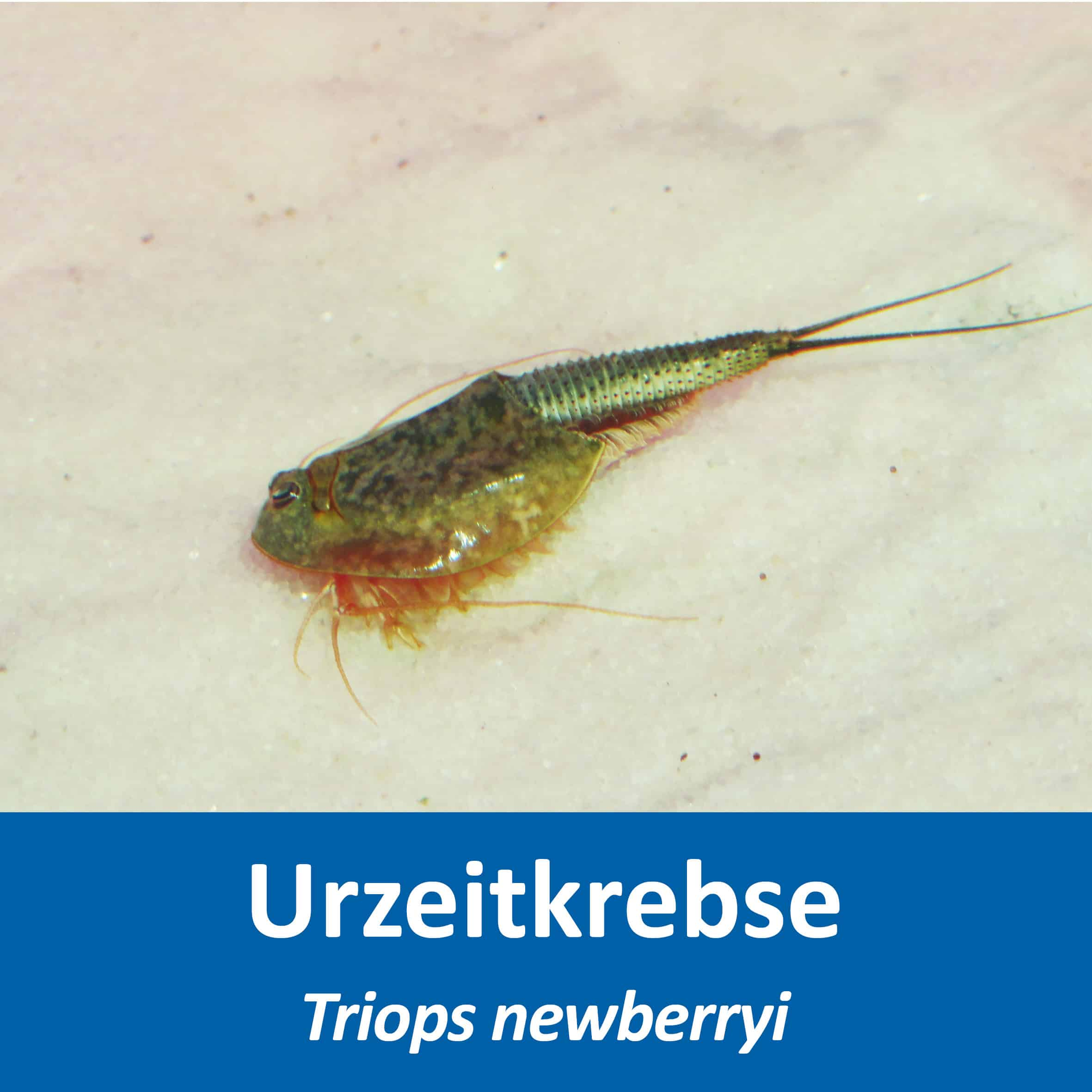 Triops newberryi
