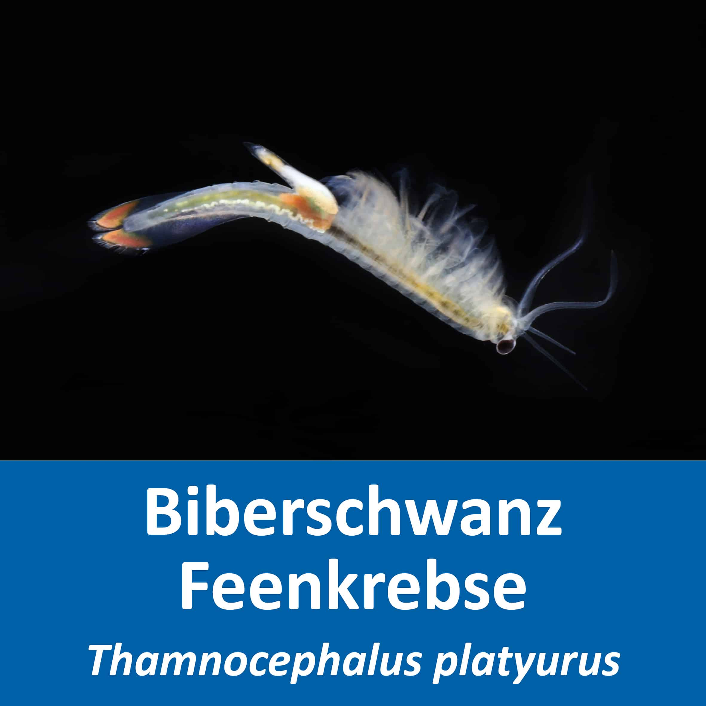 Biberschwanz Feenkrebse (Thamnocephalus platyurus)