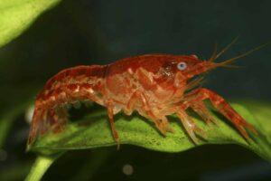 Oranger Zwergkrebs - Cambarellus patzcuarensis (CPO)