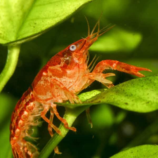 Oranger Zwergkrebs - Cambarellus patzcuarensis (CPO) - Männchen